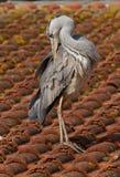 blå heron Royaltyfria Bilder