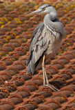blå heron Fotografering för Bildbyråer