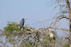 blå heron little Royaltyfri Bild
