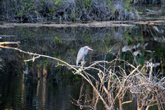 blå heron little Royaltyfria Foton