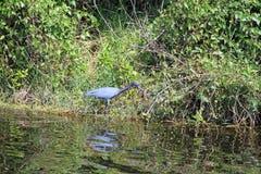 blå heron little Fotografering för Bildbyråer