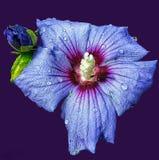 Blå hibiskus på purpurfärgad bakgrund Arkivfoto