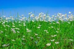 Blå himmel över ett fält av vita blommor royaltyfria foton