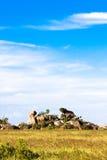 Blå himmel av Serengeti tanzania Arkivfoton