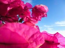 Blå himmel för bakgrund, rosa färgblommor Arkivbild