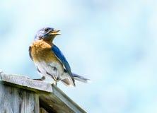 Blå himmel för blå fågel Royaltyfria Bilder