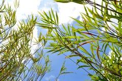 Blå himmel för bladbambu Arkivfoto