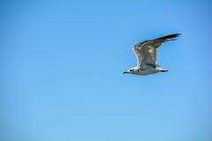Blå himmel för flygseagull utom fara Arkivbilder