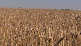 Blå himmel för sommar över fält med guld- korn