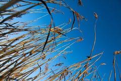 Blå himmel för torrt gräs. Arkivfoton