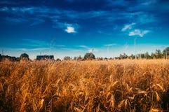 Blå himmel för veteåker i solig dag arkivbilder