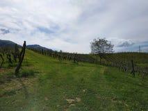 Blå himmel för vingårdträdtvärgata arkivbild