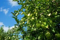 Blå himmel, grön jord, mogna äpplen Royaltyfri Bild