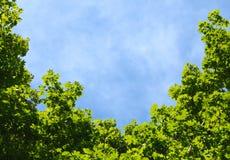 Blå himmel i en ram av lönnkronan Royaltyfri Foto
