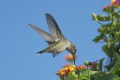 Blå himmel, Lantana och en kolibri royaltyfri bild