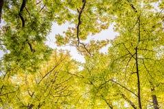 Blå himmel och Ginkgo arkivbilder