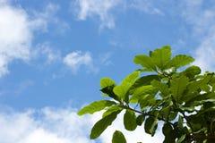 Blå himmel och gräsplanblad Arkivbilder