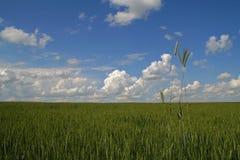 Bl? himmel och gr?n bakgrund f?r vetef?lt fotografering för bildbyråer