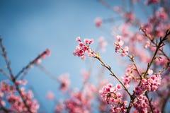Blå himmel och rosa färger blommar den körsbärsröda blomningen Royaltyfri Fotografi