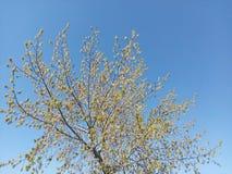 Blå himmel, ungt träd, trädfilialer, örhängen på ett träd, barnsidor, växtliv, våruppvaknande royaltyfria foton