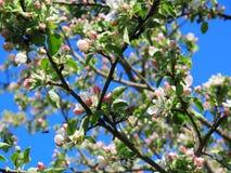Blå himmel, vårdag som förbluffar sakura arkivfoton