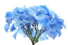 blå hortensia Royaltyfri Foto