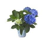 Blå Hortensia (vanlig hortensia) på vit bakgrund Arkivfoton