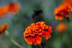Blå humla på inflorescencen av svart-hönorna i botaniska trädgården Blomman är mycket rik och ljus Pollination av royaltyfri fotografi