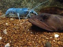Blå hummer i vattenbehållare på ett akvarium Royaltyfri Foto