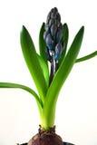 blå hyacint Arkivbilder