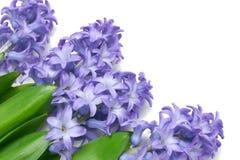 blå hyacint Royaltyfri Fotografi