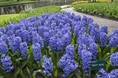 blå hyacint Royaltyfria Bilder