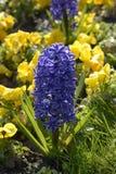 blå hyacint Royaltyfri Foto