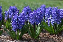 blå hyacint Royaltyfria Foton