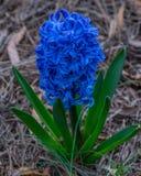 blå hyacint Arkivfoto