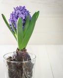 Blå hyacint i en glass kopp Arkivbilder