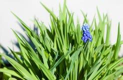 Blå hyacint med gräs Arkivbild