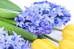 Blå hyacint och gula tulpan på vit bakgrund Royaltyfri Fotografi