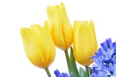 Blå hyacint och gula tulpan som isoleras på vit Fotografering för Bildbyråer