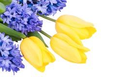 Blå hyacint och gula tulpan som isoleras på vit Royaltyfria Foton