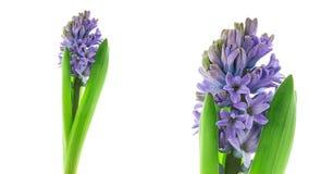 Blå hyacintblomma som blommar timelapse stock video