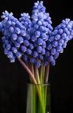 blå hyacintpärla Fotografering för Bildbyråer