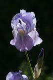 blå iris Royaltyfri Fotografi
