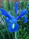 blå iris Arkivbilder