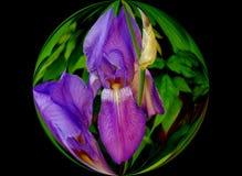 Blå iris i en bubbla Arkivfoto