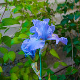 Blå iris på grön bakgrund av sidor Royaltyfria Foton