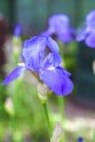 Blå irisblommacloseup på trädgårds- bakgrund Royaltyfri Foto
