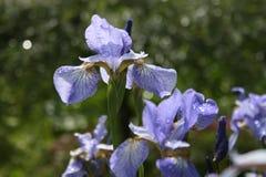 blå irisjapan Royaltyfri Fotografi