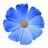 Blå isolerad blommaprimula Royaltyfri Foto