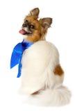 blå isolerad papillon för bowavel hund Royaltyfria Foton
